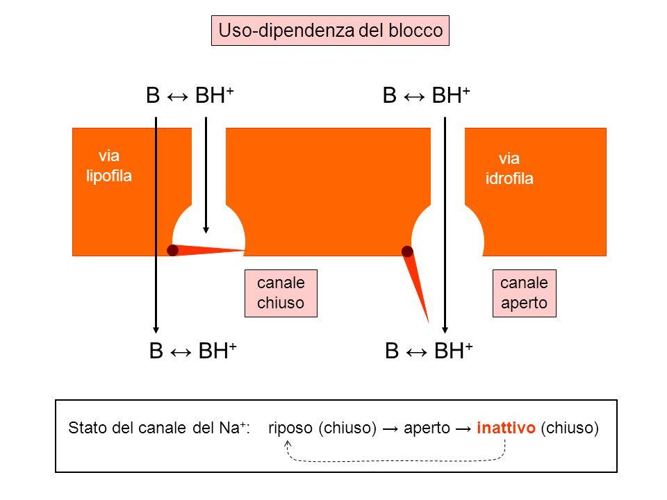B BH + via lipofila via idrofila canale aperto canale chiuso Uso-dipendenza del blocco Stato del canale del Na + :riposo (chiuso) aperto inattivo (chiuso)