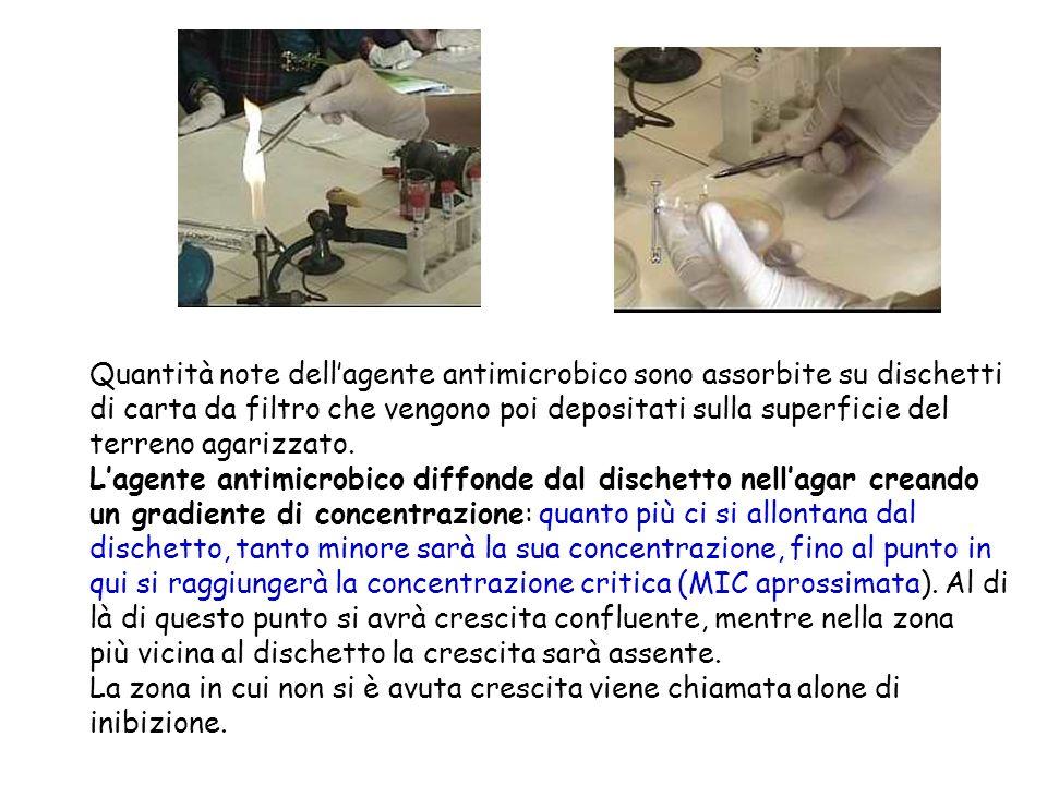 Quantità note dellagente antimicrobico sono assorbite su dischetti di carta da filtro che vengono poi depositati sulla superficie del terreno agarizza