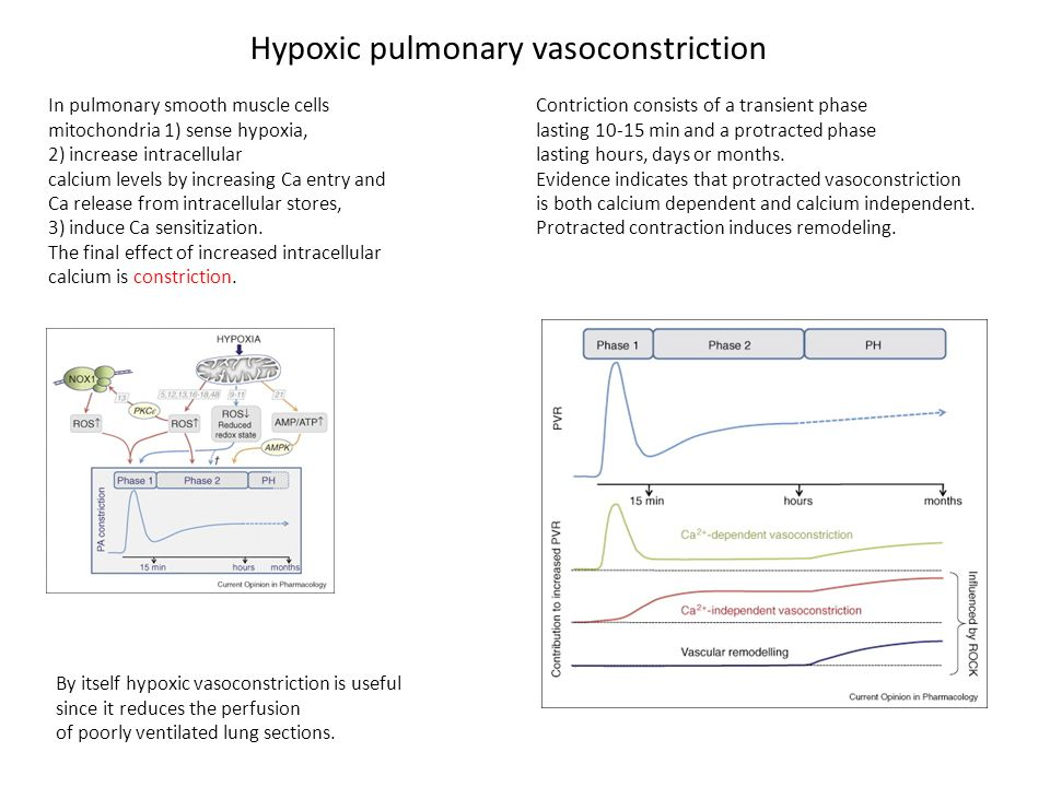 Hypoxic pulmonary vasoconstriction In pulmonary smooth muscle cells mitochondria 1) sense hypoxia, 2) increase intracellular calcium levels by increasing Ca entry and Ca release from intracellular stores, 3) induce Ca sensitization.