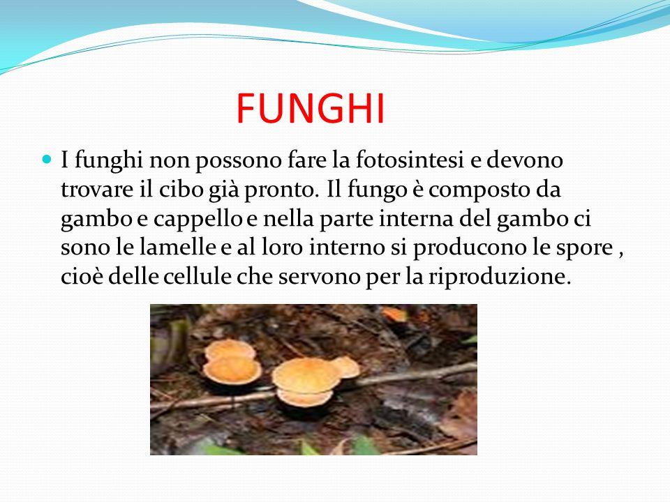 FUNGHI I funghi non possono fare la fotosintesi e devono trovare il cibo già pronto. Il fungo è composto da gambo e cappello e nella parte interna del