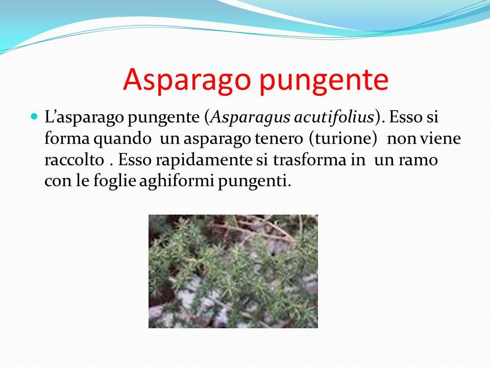 Asparago pungente Lasparago pungente (Asparagus acutifolius). Esso si forma quando un asparago tenero (turione) non viene raccolto. Esso rapidamente s