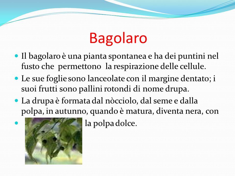 Bagolaro Il bagolaro è una pianta spontanea e ha dei puntini nel fusto che permettono la respirazione delle cellule. Le sue foglie sono lanceolate con
