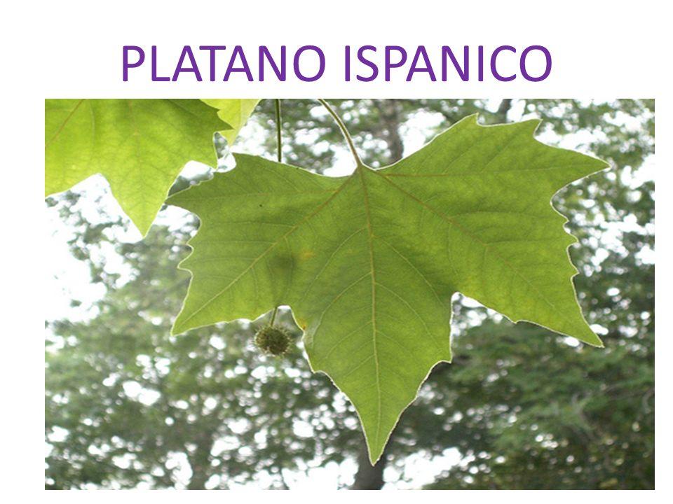 PLATANO ORIENTALE Cè anche il platano orientale con foglie palmate ma lobi stretti e lungamente appuntiti, spontaneo nelle cave iblee, raro.