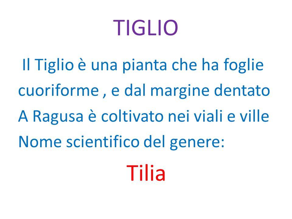 TIGLIO Il Tiglio è una pianta che ha foglie cuoriforme, e dal margine dentato A Ragusa è coltivato nei viali e ville Nome scientifico del genere: Tili