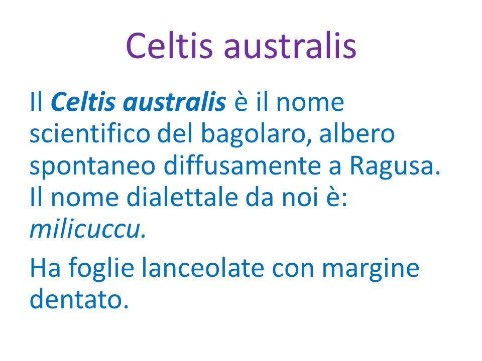 Celtis australis Il Celtis australis è il nome scientifico del bagolaro, albero spontaneo diffusamente a Ragusa. Il nome dialettale da noi è: milicucc