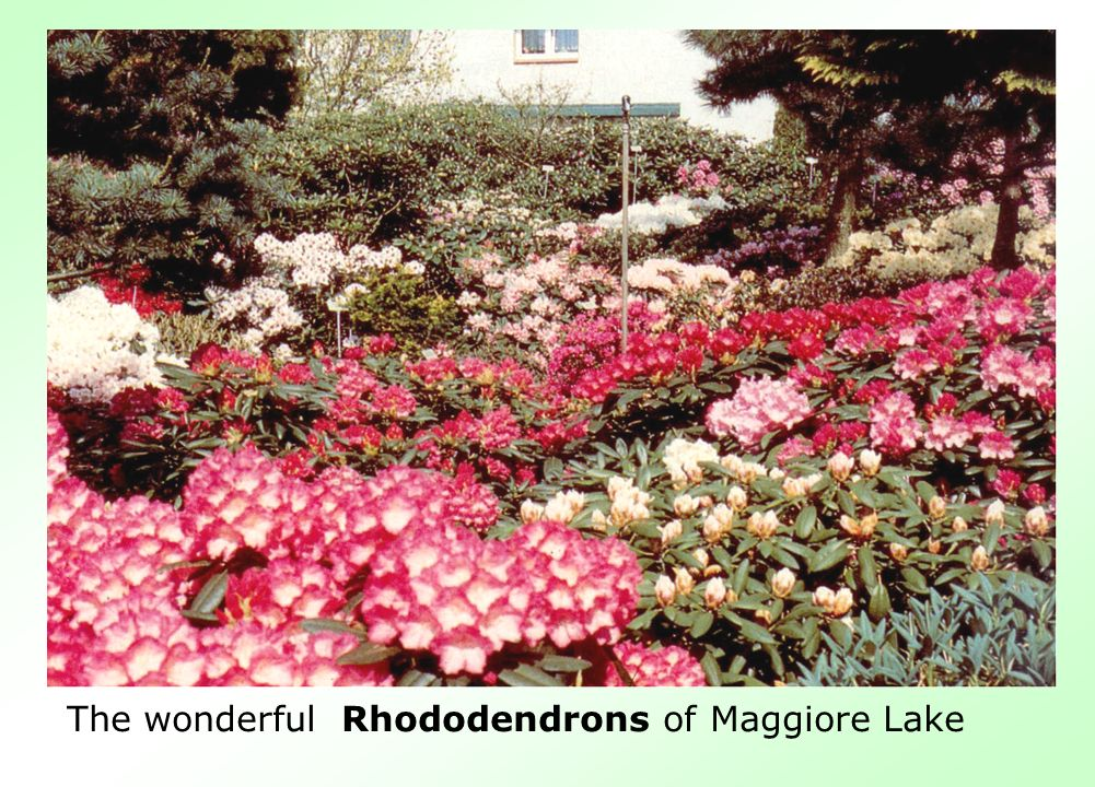The wonderful Rhododendrons of Maggiore Lake