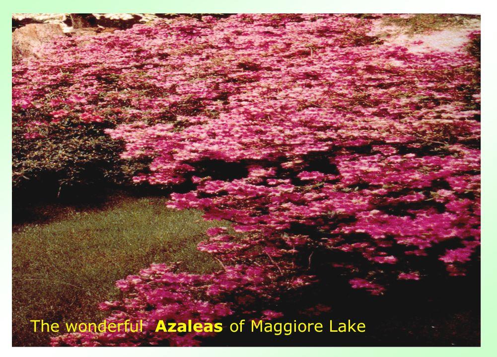 The wonderful Azaleas of Maggiore Lake