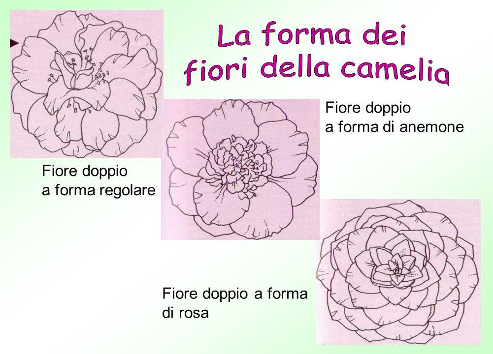 Fiore doppio a forma di anemone Fiore doppio a forma regolare Fiore doppio a forma di rosa