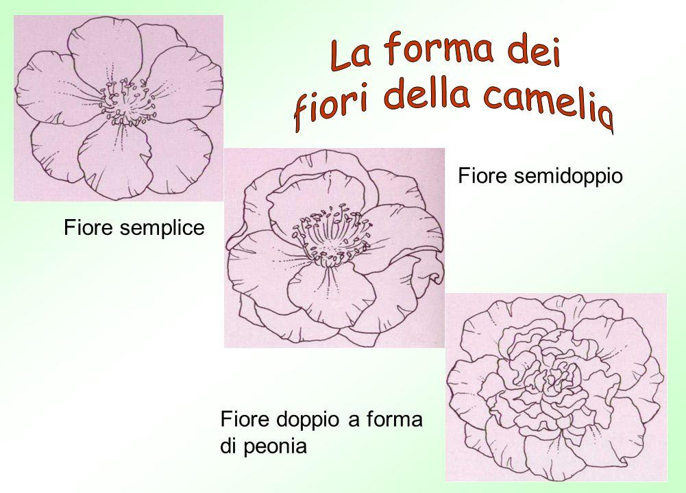 Fiore semplice Fiore semidoppio Fiore doppio a forma di peonia