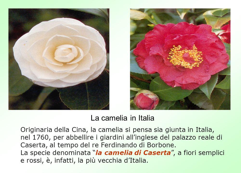 La camelia in Italia Originaria della Cina, la camelia si pensa sia giunta in Italia, nel 1760, per abbellire i giardini allinglese del palazzo reale