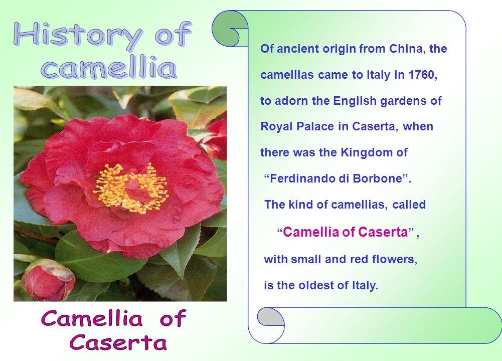 Il clima mite e umido delle Regioni meridionali favorì uno sviluppo vistoso delle camelie che furono piantate, così, in molte altre località italiane e, perfino al nord, nelle zone circostanti il lago di COMO e il lago MAGGIORE.