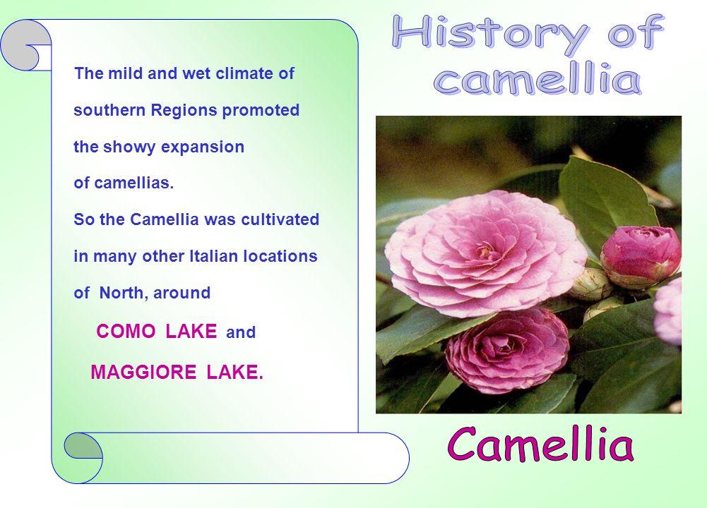 Dopo un declino di interesse verso la fine del XIX secolo e, in alcuni casi, estirpate o bruciate, alcune specie di camelie trovarono condizioni climatiche ideali nelle zone dei laghi della LOMBARDIA.