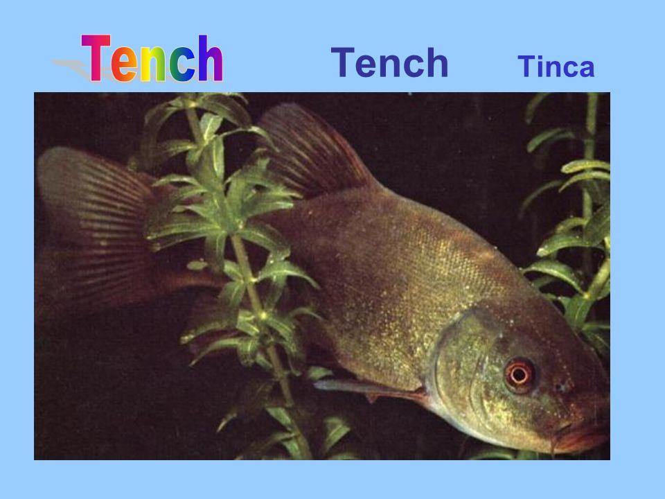 Tench Tinca