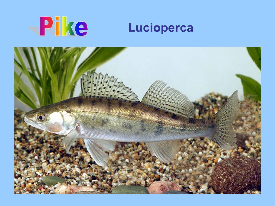 Lucioperca
