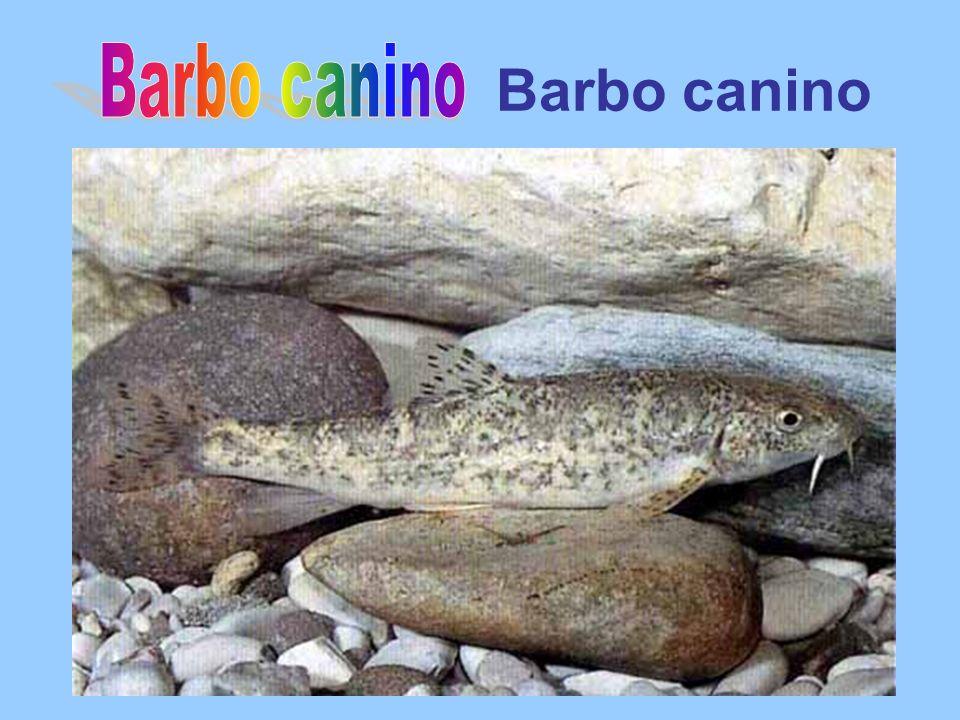 Barbo canino