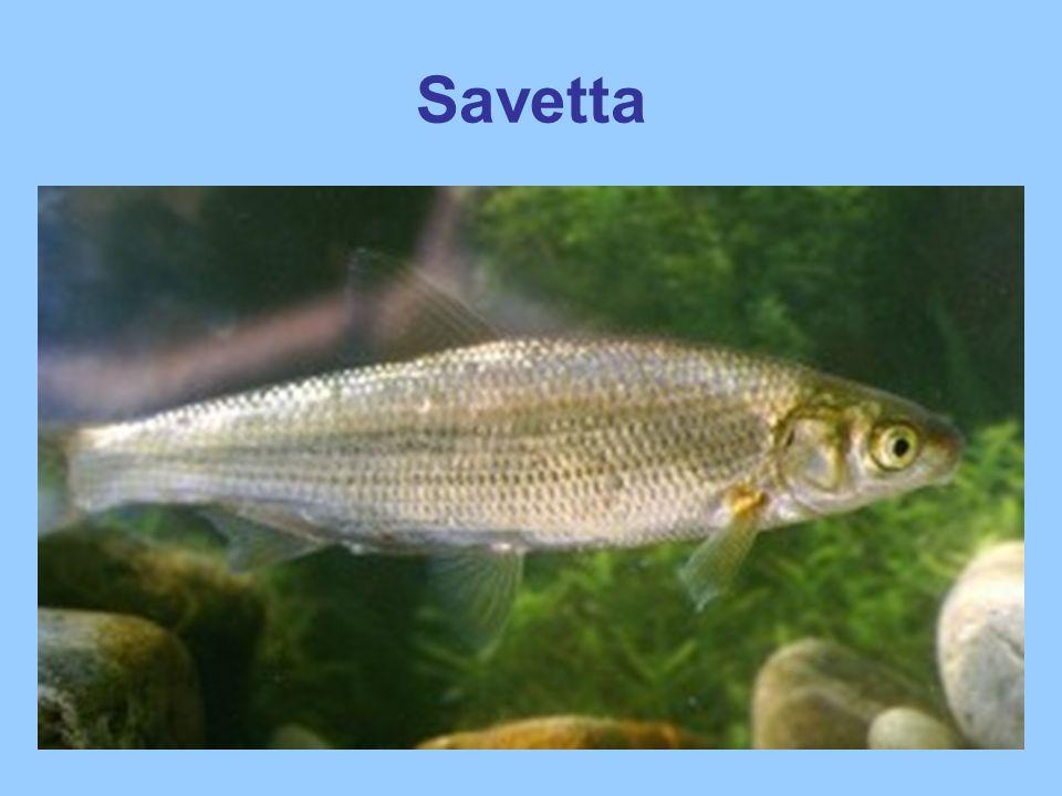 Savetta