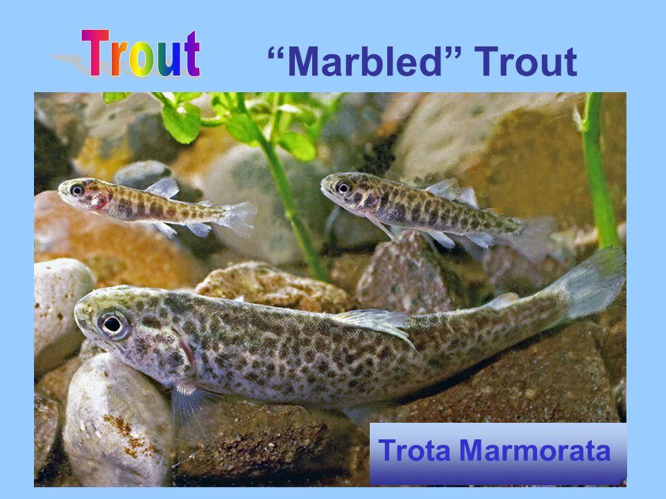 Marbled Trout Trota Marmorata