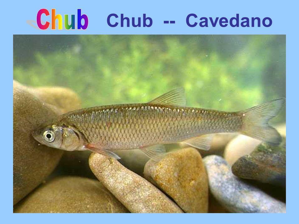 Chub -- Cavedano