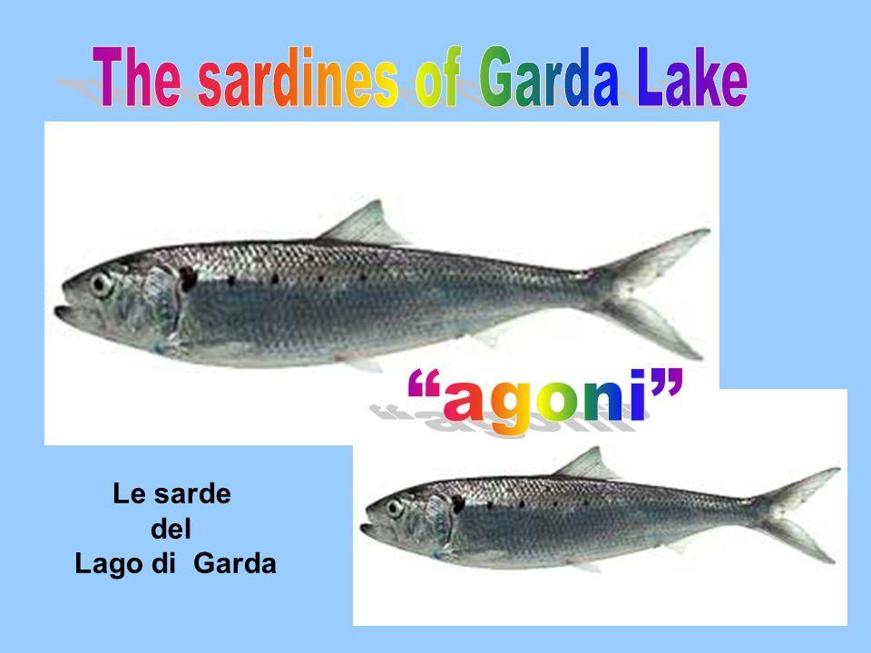 Le sarde del Lago di Garda
