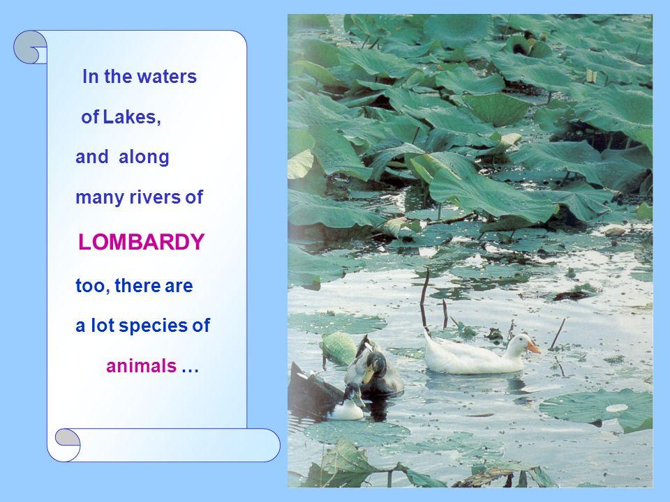 A family of ducks and royal mallards, germani reali, on the Iseo Lake
