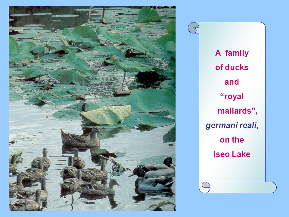 A family of ducks and royal mallards, germani reali, on the Iseo Lake