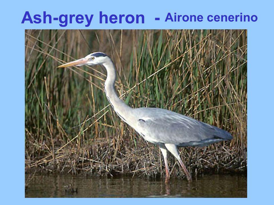 Ash-grey heron - Airone cenerino