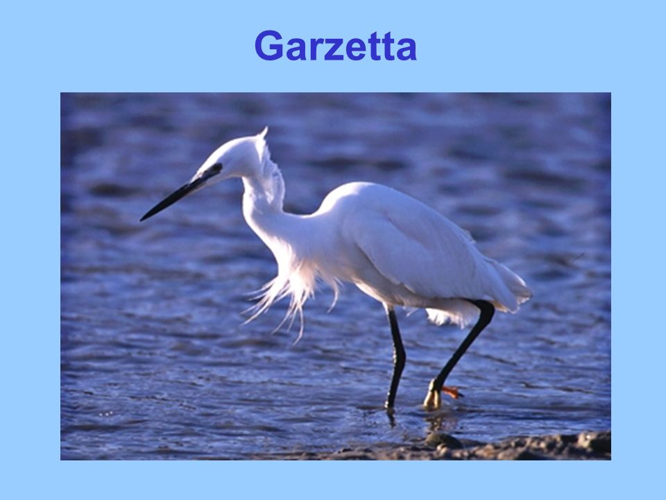 Garzetta