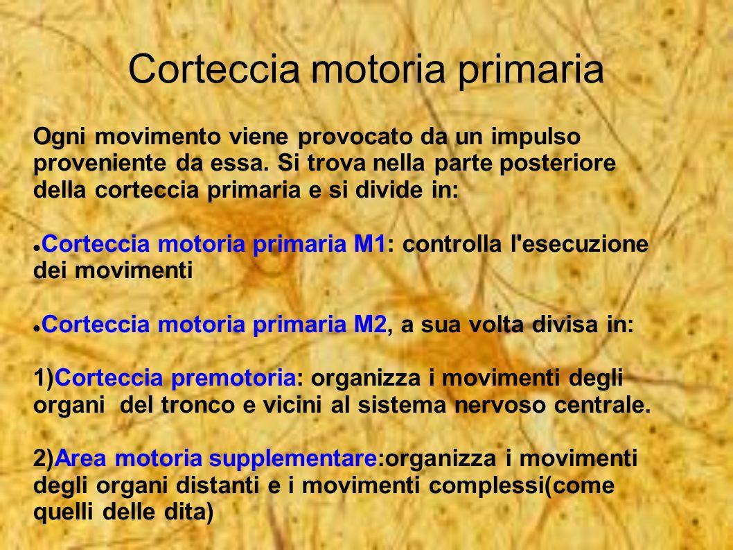 Corteccia motoria primaria Ogni movimento viene provocato da un impulso proveniente da essa. Si trova nella parte posteriore della corteccia primaria
