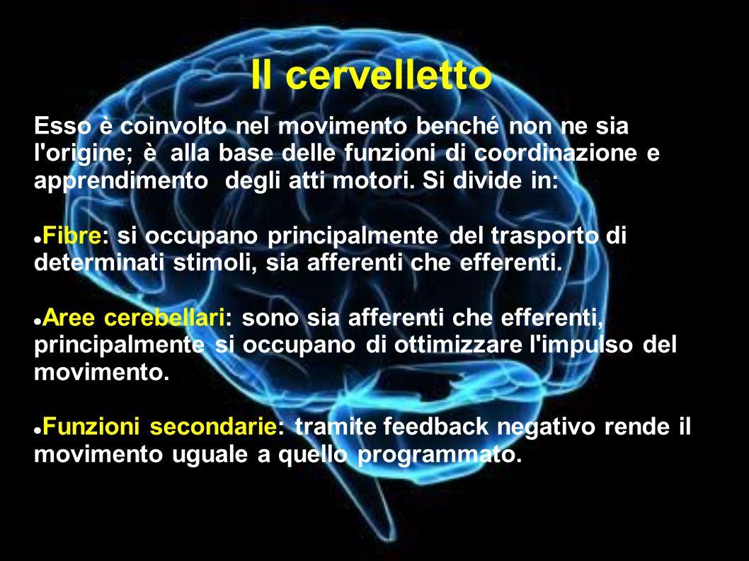 Il cervelletto Esso è coinvolto nel movimento benché non ne sia l origine; è alla base delle funzioni di coordinazione e apprendimento degli atti motori.