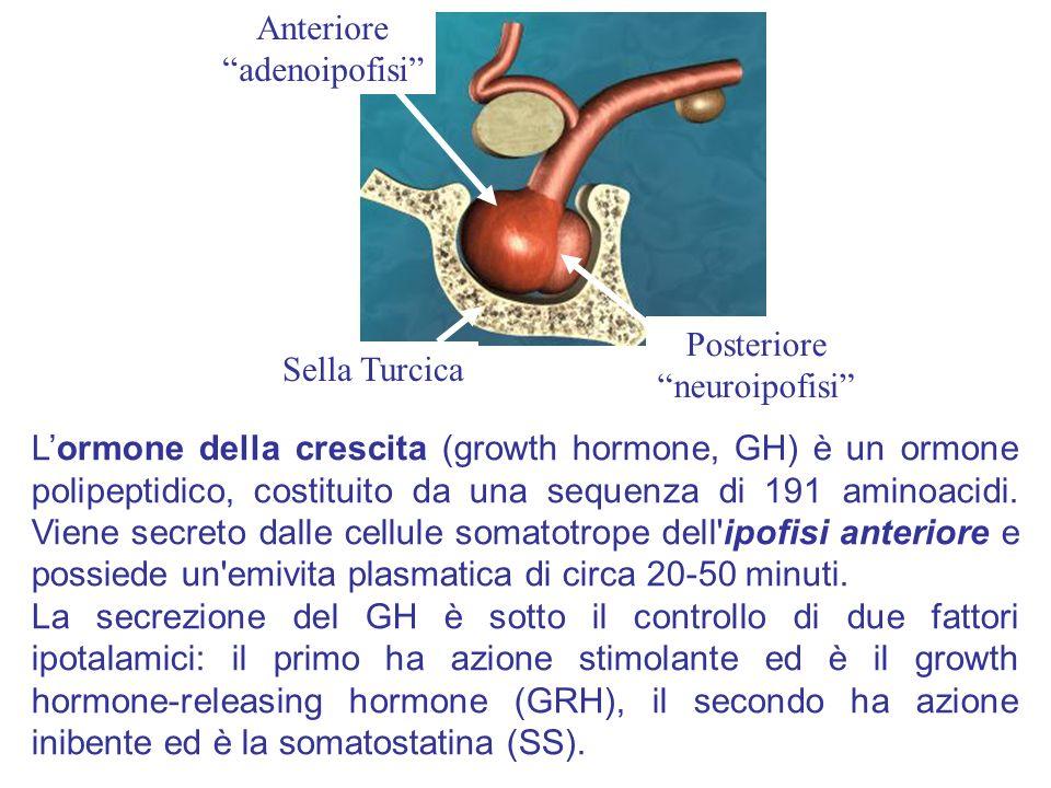 Lormone della crescita (growth hormone, GH) è un ormone polipeptidico, costituito da una sequenza di 191 aminoacidi. Viene secreto dalle cellule somat