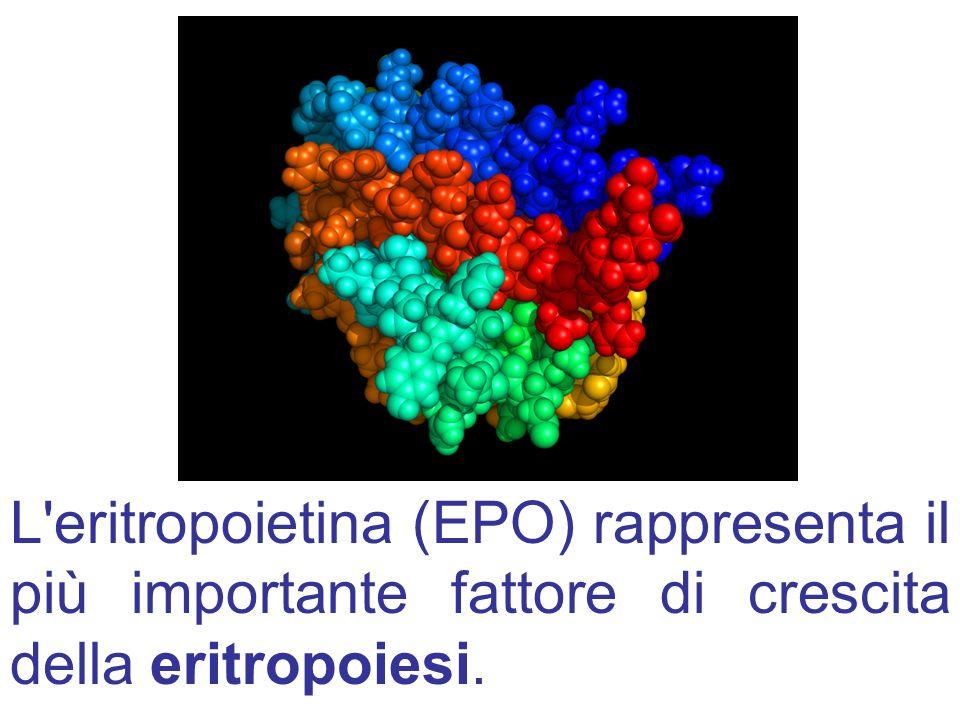 L'eritropoietina (EPO) rappresenta il più importante fattore di crescita della eritropoiesi.