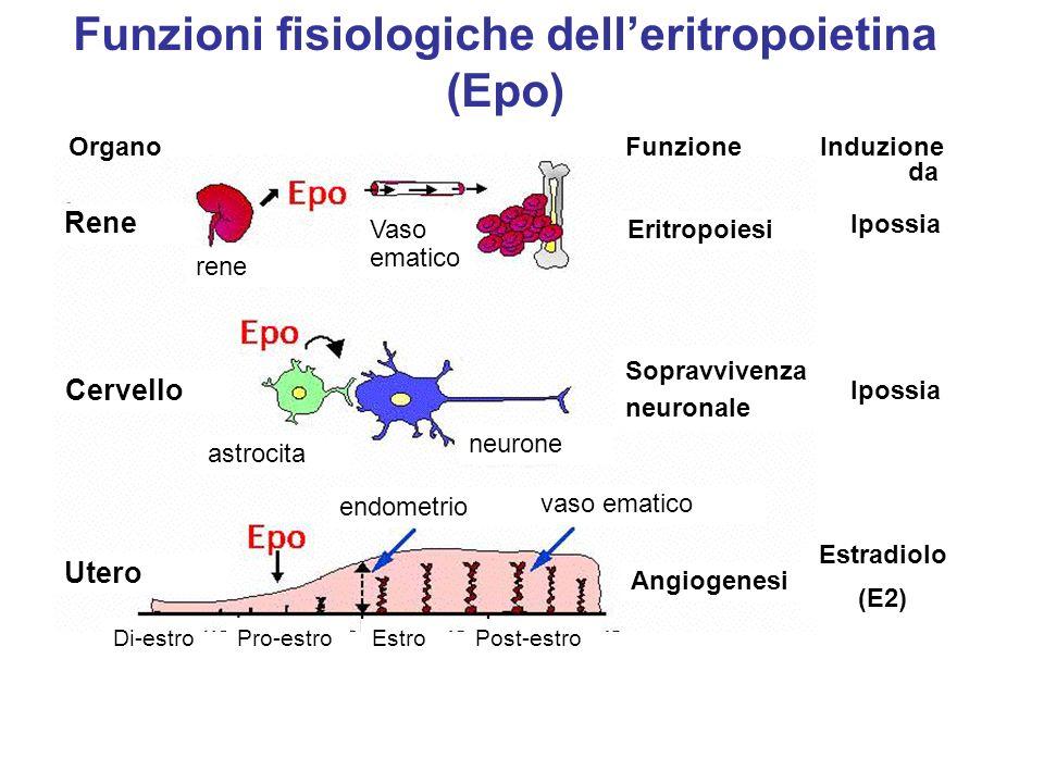 Aumenta la produzione di eritrociti e, quindi, il trasporto di ossigeno MA HA PESANTI EFFETTI COLLATERALI Aumenta la viscosità del sangue e, quindi, aumenta di 4 volte il rischio di morte per trombosi EPO