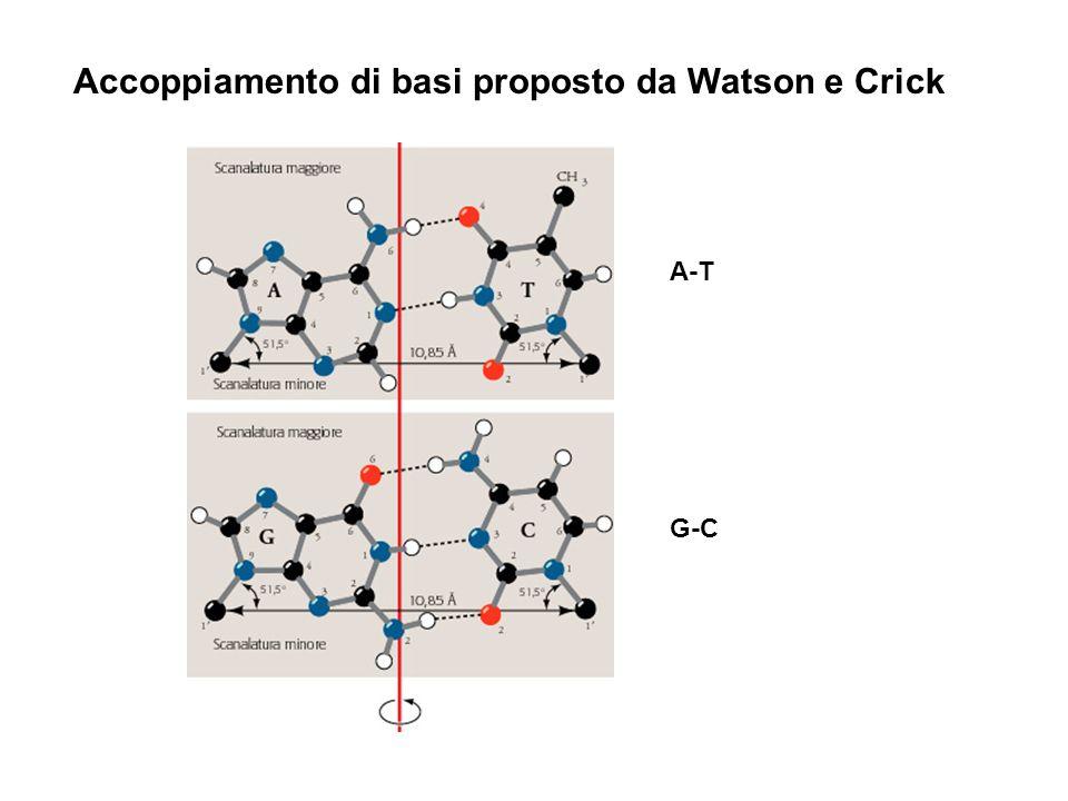 A-T G-C Accoppiamento di basi proposto da Watson e Crick