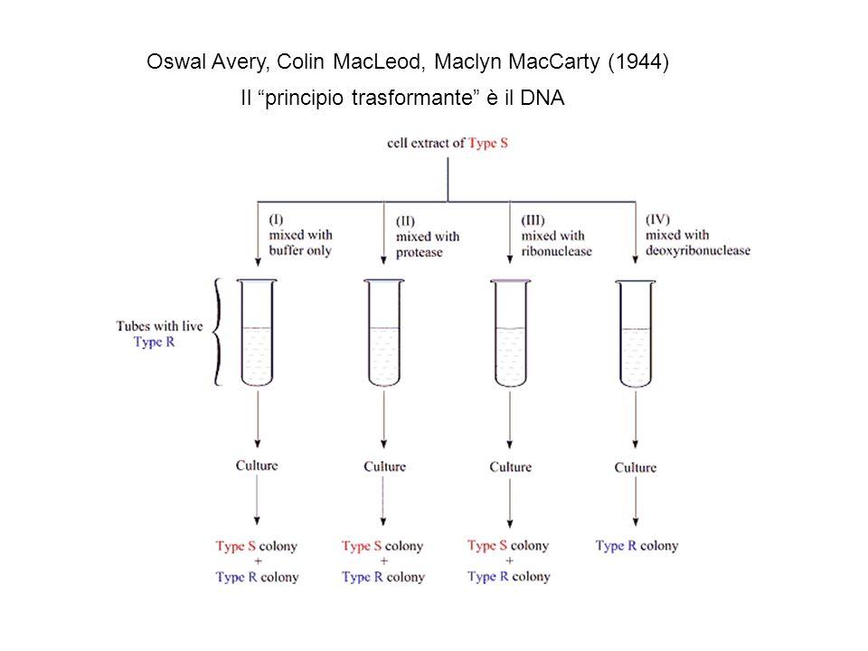 Oswal Avery, Colin MacLeod, Maclyn MacCarty (1944) Il principio trasformante è il DNA