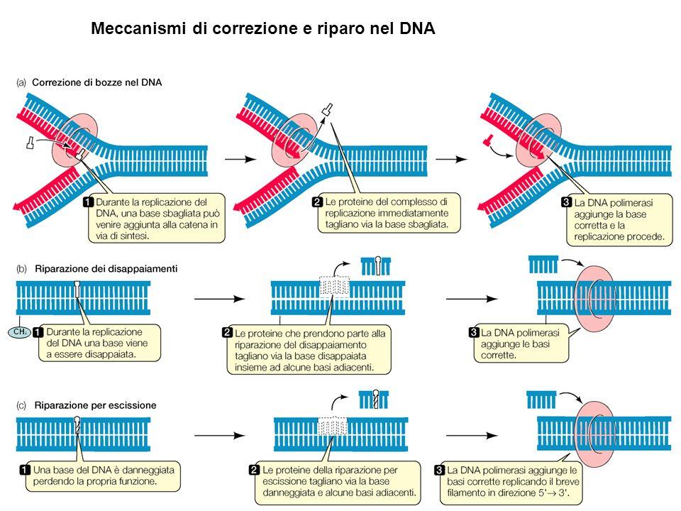 Meccanismi di correzione e riparo nel DNA CH 3