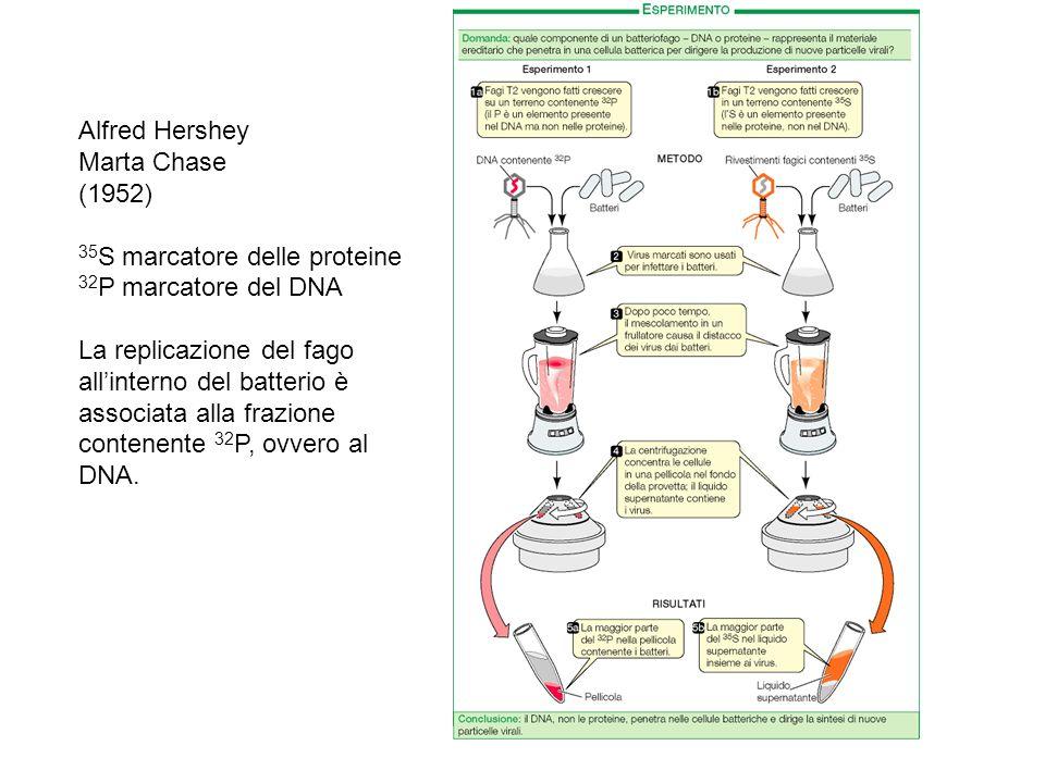 Alfred Hershey Marta Chase (1952) 35 S marcatore delle proteine 32 P marcatore del DNA La replicazione del fago allinterno del batterio è associata al