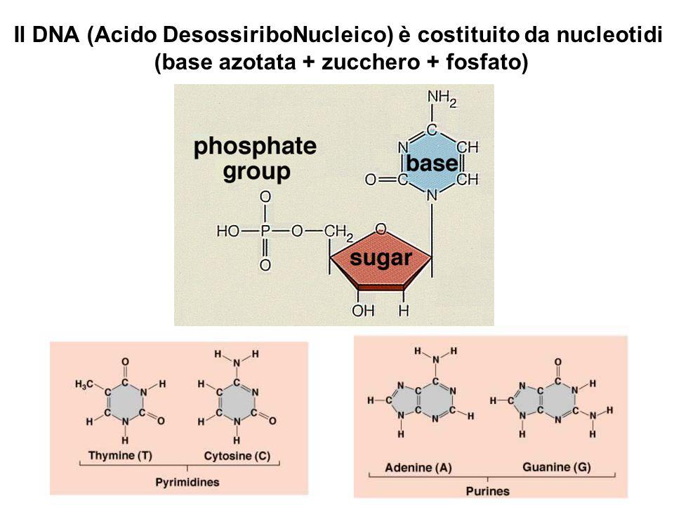 Il DNA (Acido DesossiriboNucleico) è costituito da nucleotidi (base azotata + zucchero + fosfato)