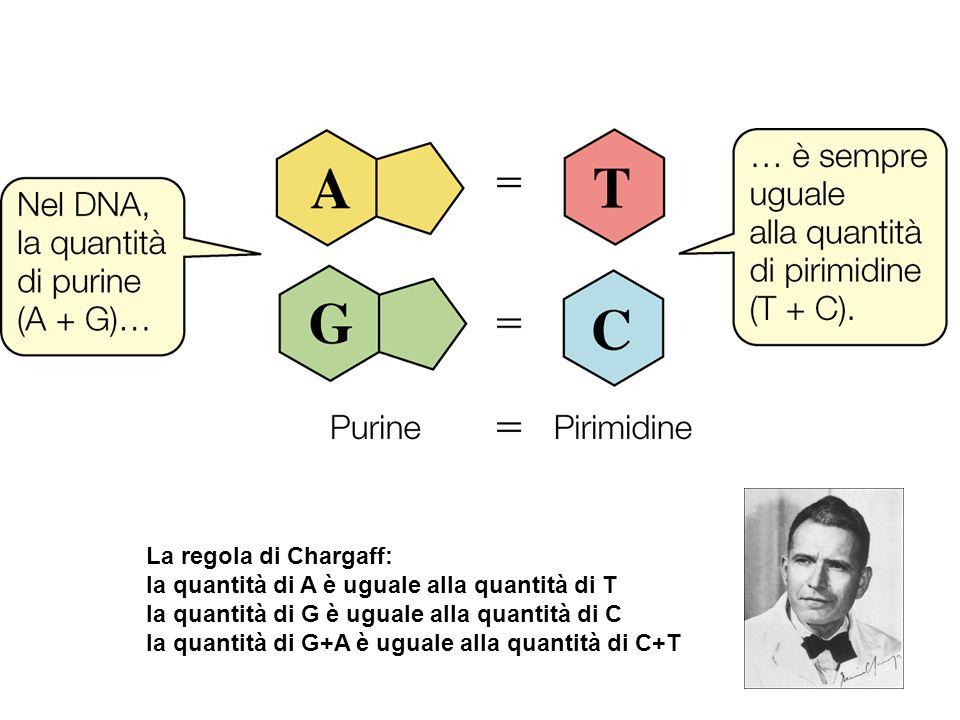 La regola di Chargaff: la quantità di A è uguale alla quantità di T la quantità di G è uguale alla quantità di C la quantità di G+A è uguale alla quan