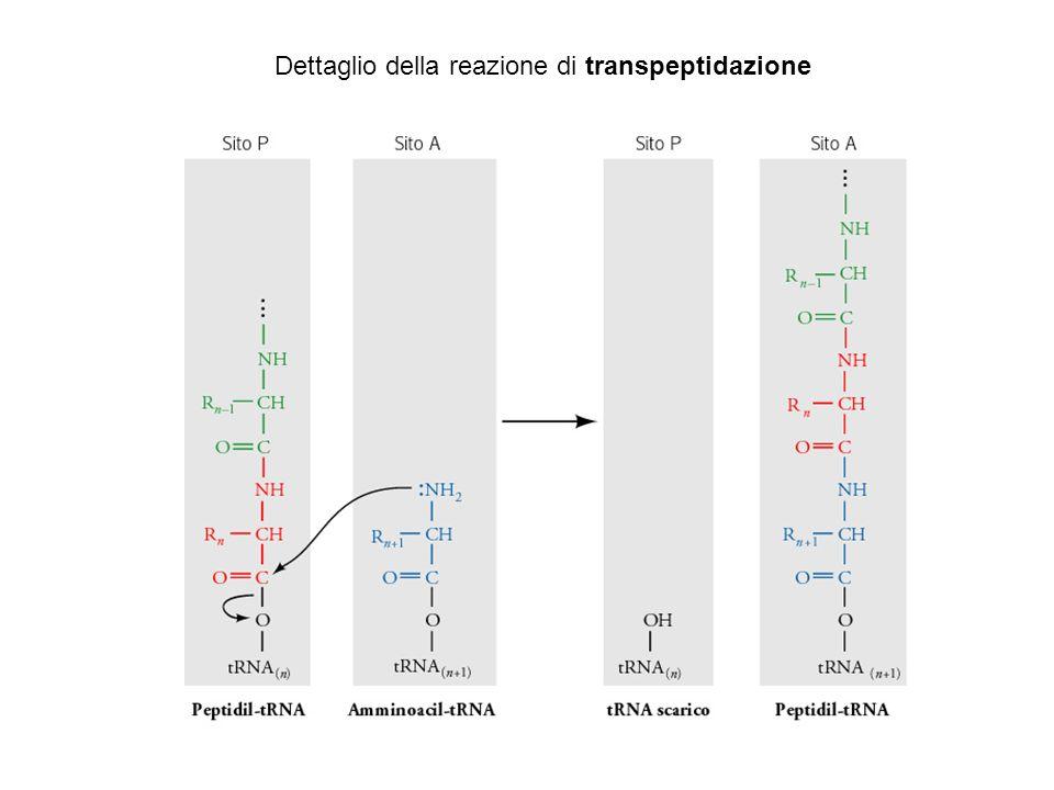 Dettaglio della reazione di transpeptidazione