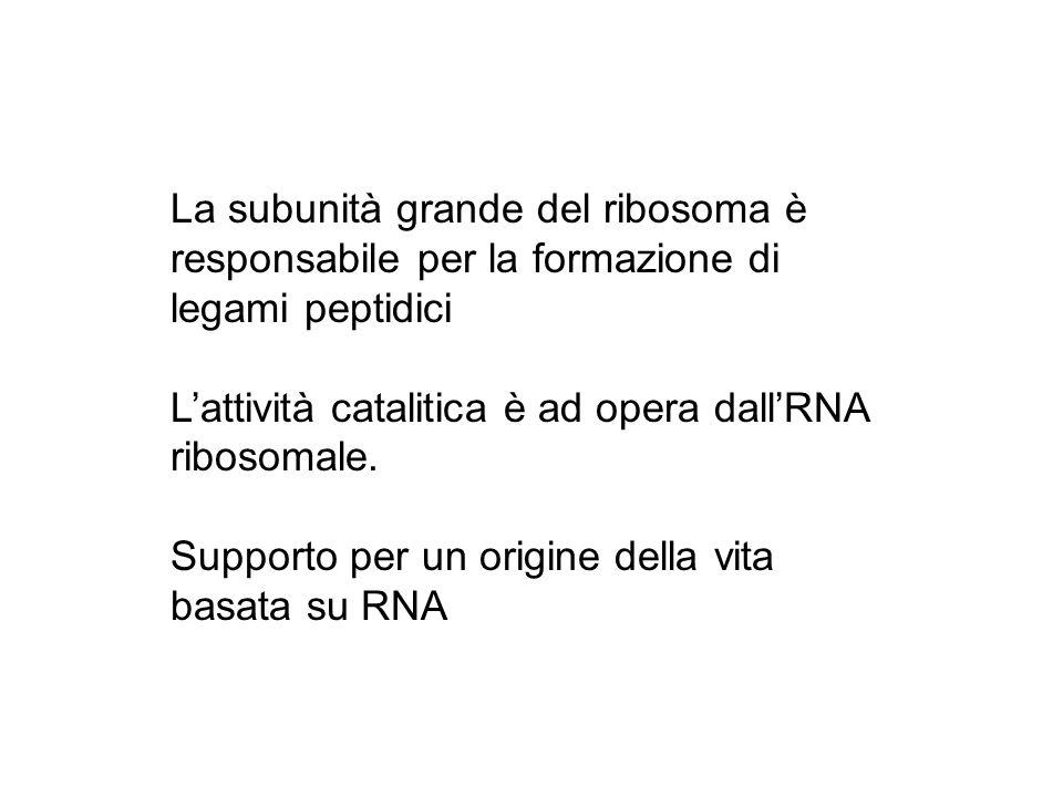 La subunità grande del ribosoma è responsabile per la formazione di legami peptidici Lattività catalitica è ad opera dallRNA ribosomale. Supporto per