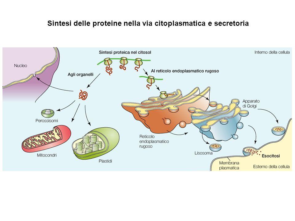 Sintesi delle proteine nella via citoplasmatica e secretoria