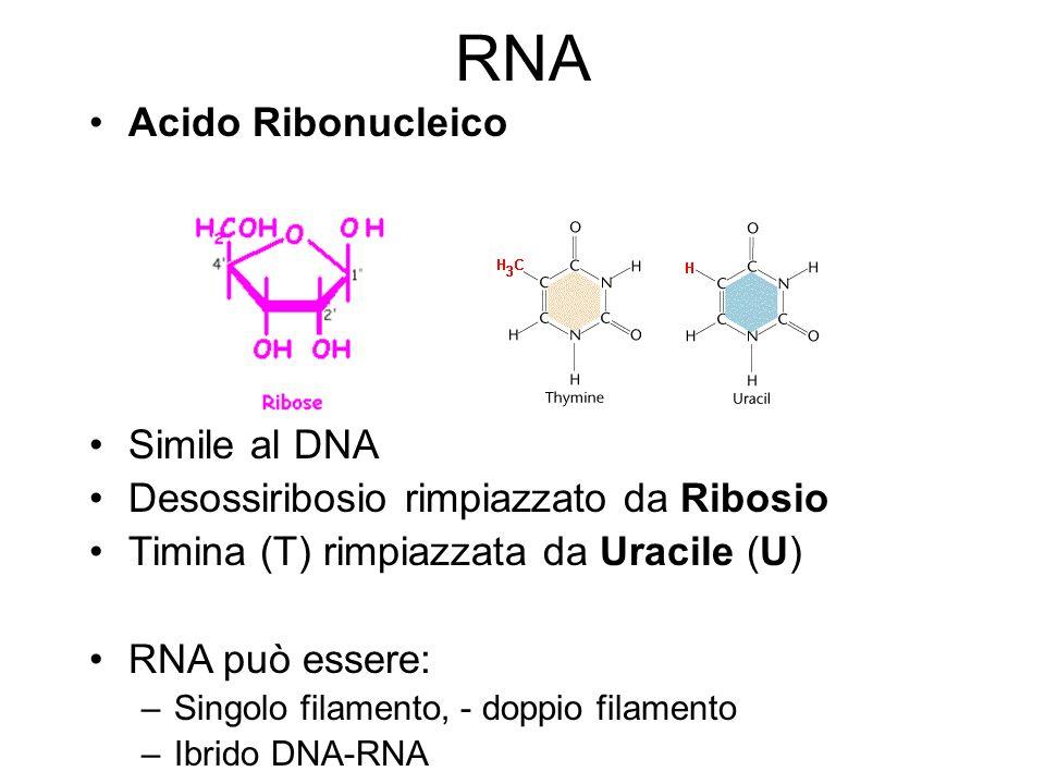RNA Acido Ribonucleico Simile al DNA Desossiribosio rimpiazzato da Ribosio Timina (T) rimpiazzata da Uracile (U) RNA può essere: –Singolo filamento, -