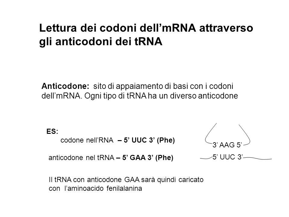 Lettura dei codoni dellmRNA attraverso gli anticodoni dei tRNA Anticodone: sito di appaiamento di basi con i codoni dellmRNA. Ogni tipo di tRNA ha un