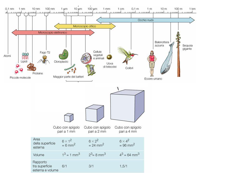 Subcellular protein sorting: via secretoria Segnali per la via secretoria Segnali per localizzazione subcellulare