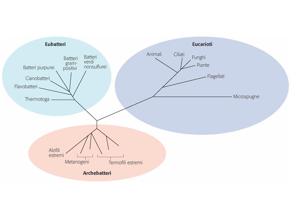 Mitocondri Centrale energetica della cellula.