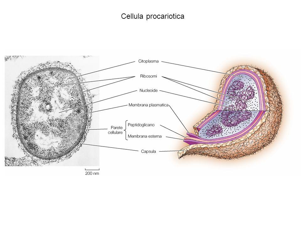 La cellula procariotica è capace di movimenti
