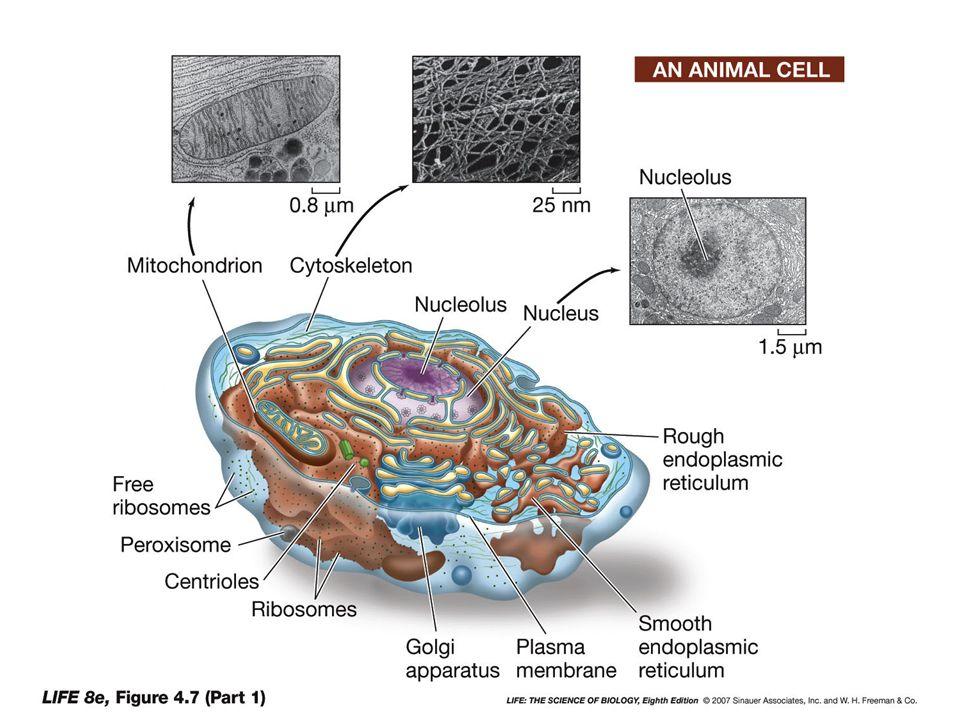 Nucleo cellulare o Di solito lorganello con le maggiori dimensioni o Contiene il DNA della cellula o Sede di duplicazione e trascrizione o Controllo genetico su tutte le attività cellulari
