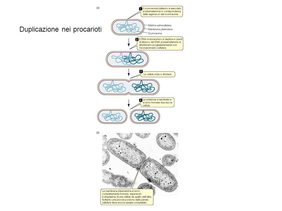Duplicazione nei procarioti