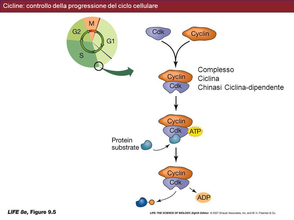 Cicline: controllo della progressione del ciclo cellulare Complesso Ciclina Chinasi Ciclina-dipendente