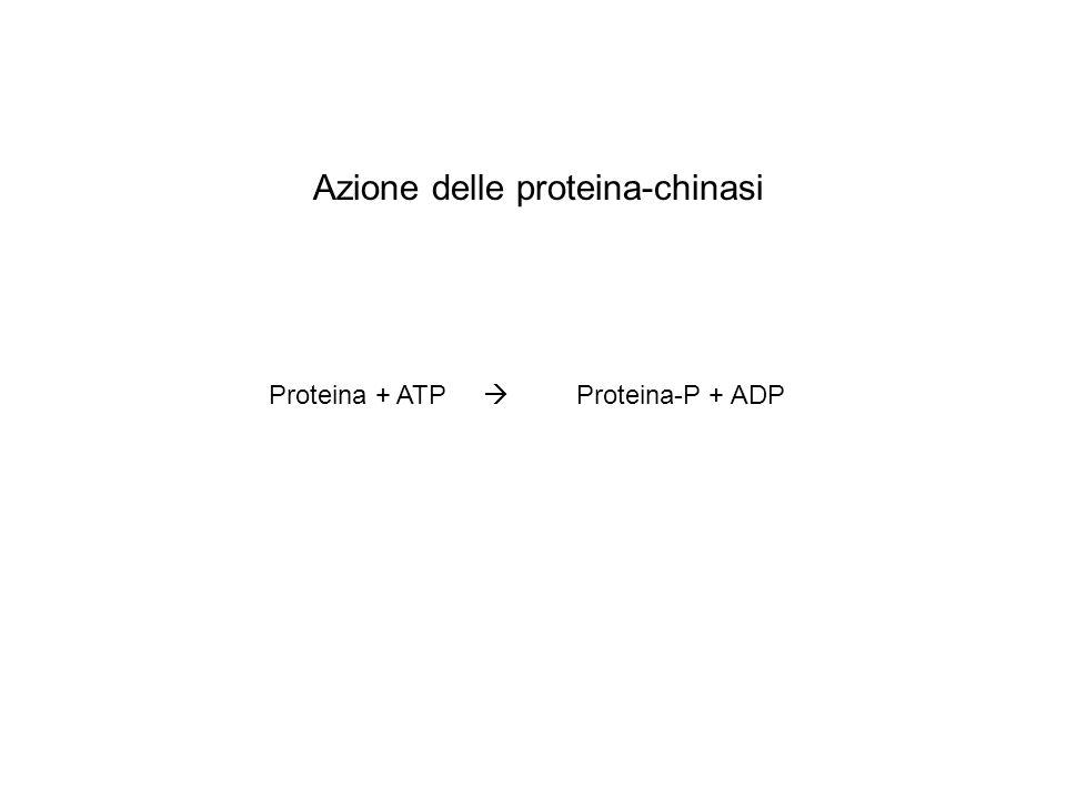 Proteina + ATP Proteina-P + ADP Azione delle proteina-chinasi